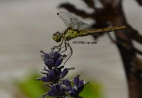 The lavander dragonfly2 by animelover145