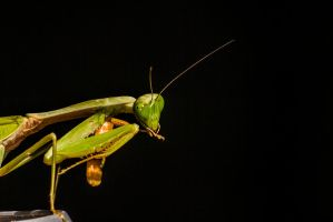 Praying Mantis by deathRS5