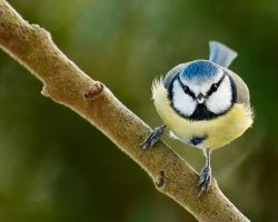 Balancing Blue Tit by Yslen