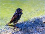 Wet Sparrow by Lupsiberg