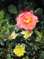 Roses_2 by PchilkaBlankPrime