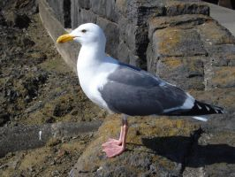 Seagull by firesember222