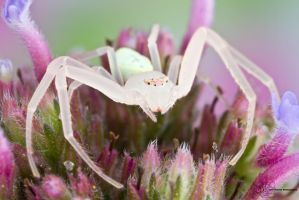 Crab Spider - Misumessus oblongus by ColinHuttonPhoto