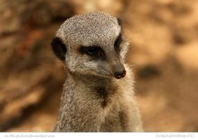 Moody Meerkat by In-the-picture