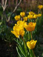 Yellow Tulips 01 by botanystock