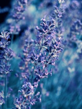 Lavender by Melica75