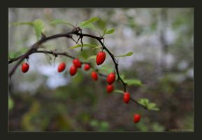 red berries by fragilemuse-org