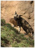 African Wild Dog - Pups 022 by ShineOverShadow