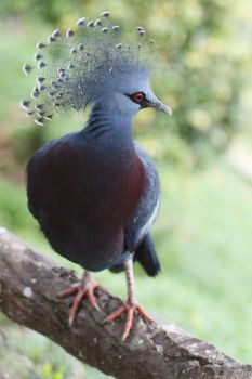 Crowned Pigeon by MICHO910722