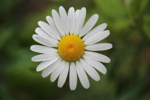 Lonely Daisy by m3ss14h