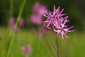 Ragged Robin #2 by perost