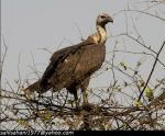 White Rumped Vulture by SalilSSahani