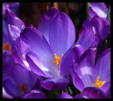 spring crocuses by kram666