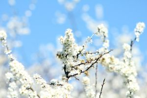White Cherry Blossom by akrPhotography