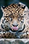 Jaguar found something appetizing! by Seb-Photos
