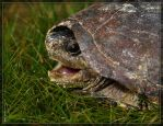 Eastern Mud Turtle 40D0026390 by Cristian-M
