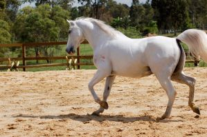 Arab trot side on tail cut by Chunga-Stock
