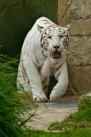 White Tiger 290-11n by Haywood-Photography