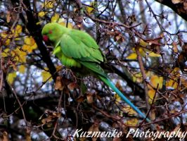 Rose-Ringed Parakeet by Alzipalz