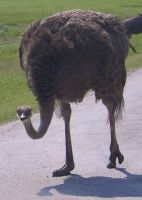 Ostrich by lovebam