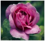 Pink Rose by tina1138