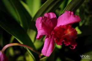 pink orchids by vhive