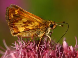 Skipper on pink by natureguy