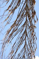 00091 - Dead Palm Frond by emstock