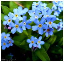 Forget me not 2 by T-Nelly