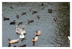 Life On An Albany Pond 8 by AdamsWife