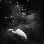 The Great Egret by clippercarrillo