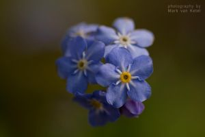 Myosotis by blizzard2006