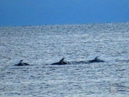 We Three Dolphins by wolfwings1
