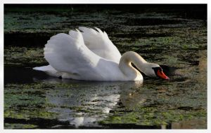 White swan on a green pond by Lothringen