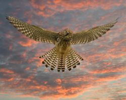 Kestrel sunset by pixellence2