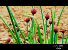 Onion by niwaj