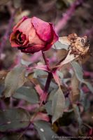 Fading Rose (I) by DrAndrei
