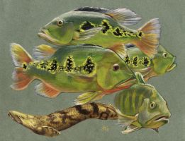 Peacock Bass and Bichir by Heatherbeast