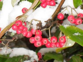 Winterberries III by DeviantMary