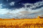 Vineyards {Infrared} by ToneeGee