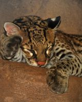 Ocelot Closeup by FallGirl