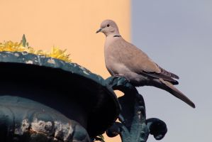 Eurasian Collared Dove by organicvision