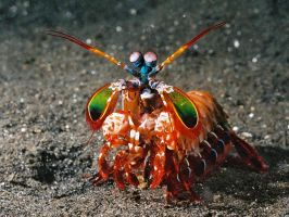 Mantis Shrimp by yaq1xsw2