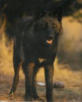 Baraj, Black Wolf by LordWolfgang