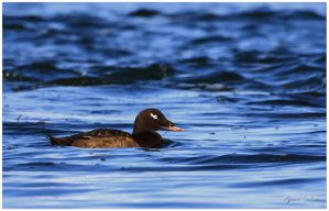 White-winged Scoter by Ryser915