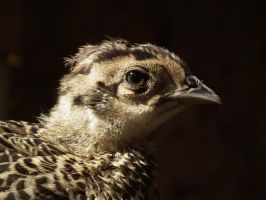 Ring Necked Pheasant Chick by deerhunter2012