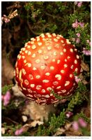 Fly Agaric In Heather by In-the-picture