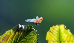 Ladybug take off wide by tezdesign