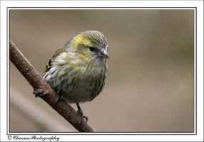Siskin by CharmingPhotography