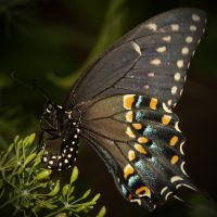 Black Swallowtail Laying Eggs by Amatuer-Pics-By-Me